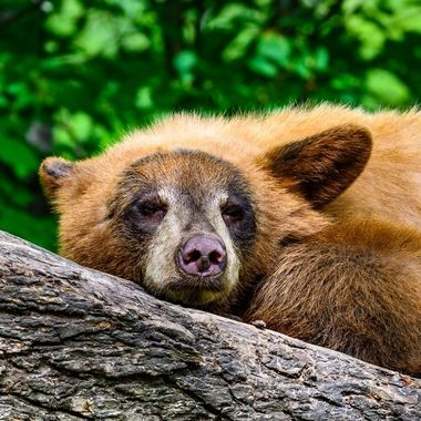 Young brown phase black bear resting
