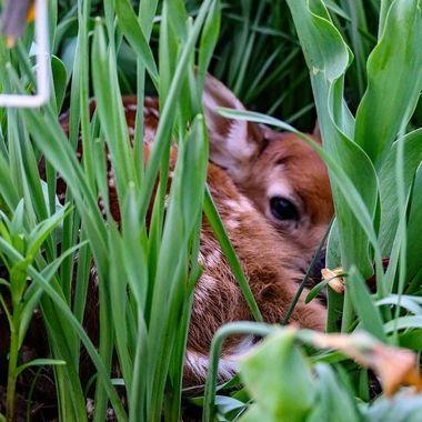 Whitetail fawn resting iin the flower garden, awaiting moms return