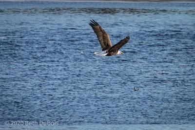 _DSC6957 eagle flight