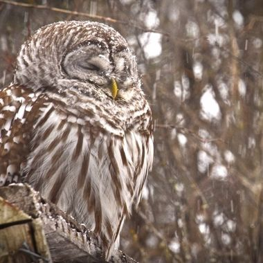 Barred owl taking a nap