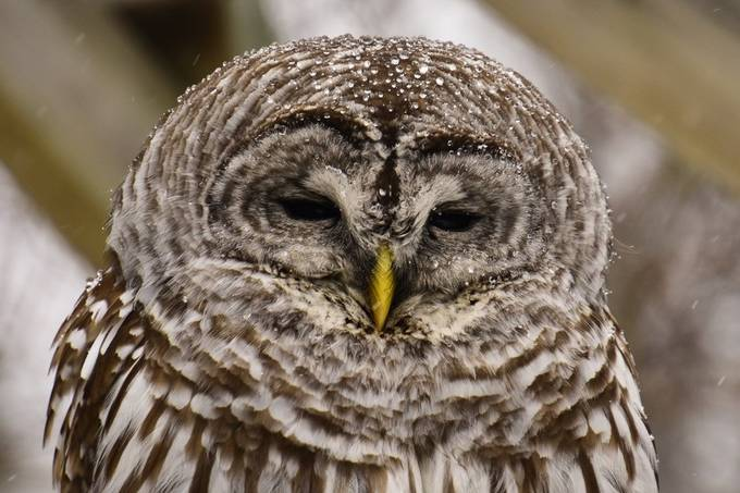Sleepy Barred Owl during a light snow as it melted on it's head