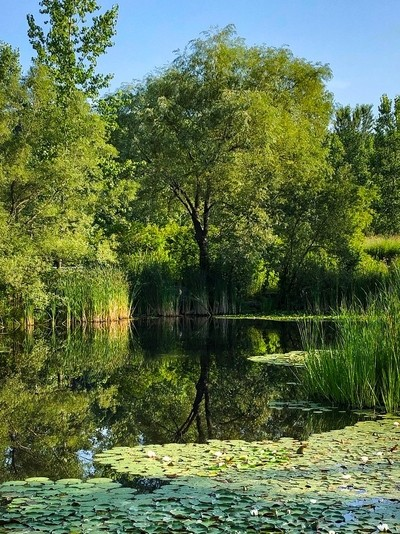 Trees Over Pond