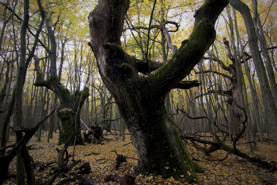Very old forest from Slovakia