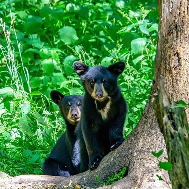 The black bear cub in front seemed to have that attitude while it's sibling was a little more cautious