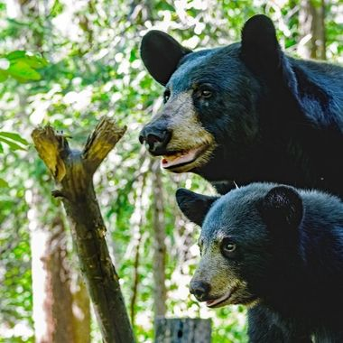 These two black bears stopped for a nice pose while walking down a log