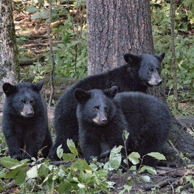 These Black bear siblings were always on the watch for other large bears with one eye on me