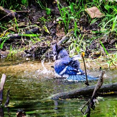 Blue jay enjoying a bath in the creek
