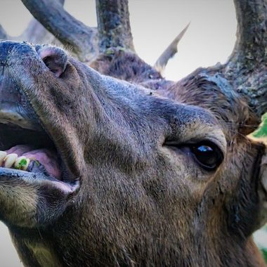 About as close as you can get, the Elk bugle that close is pretty awesome too!