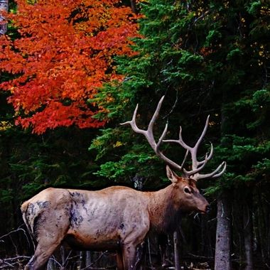 Worn out by the rut, this beautiful bull elk looks a little slim right now