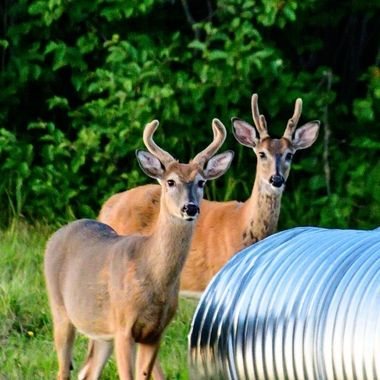 These young whitetail bucks in velvet seemed to be checking out what the culverts were all about.