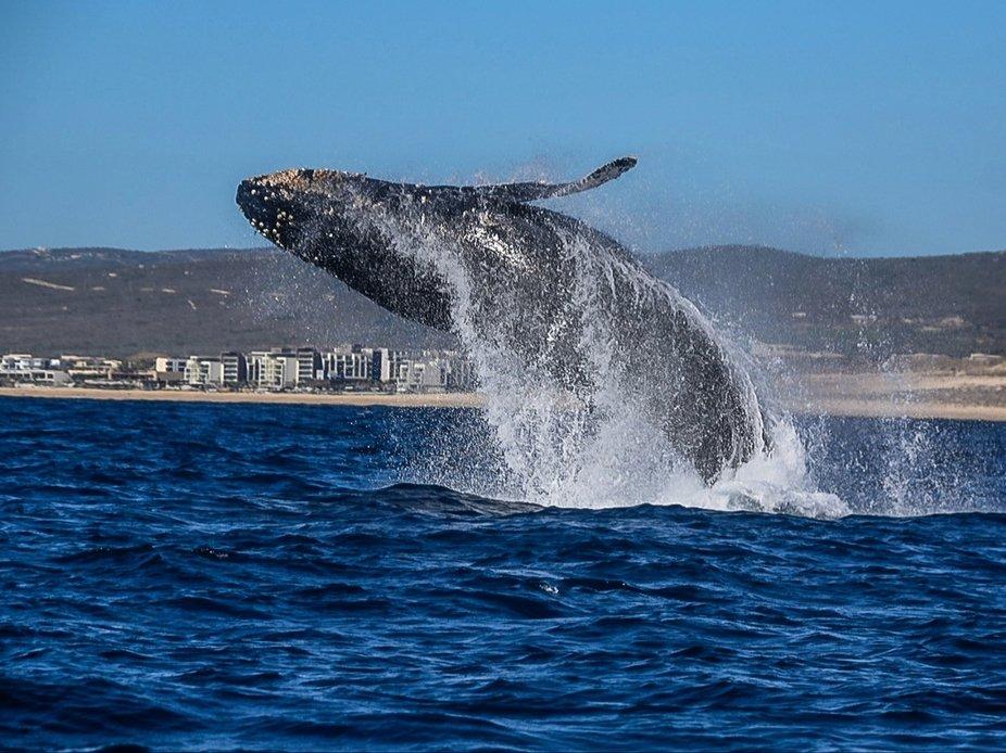 Humpback, Cabo San Lucas.