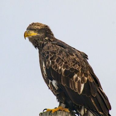 Banded Young Eagle