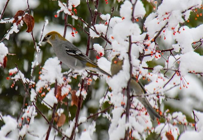 Snowy Pine Grosbeaks