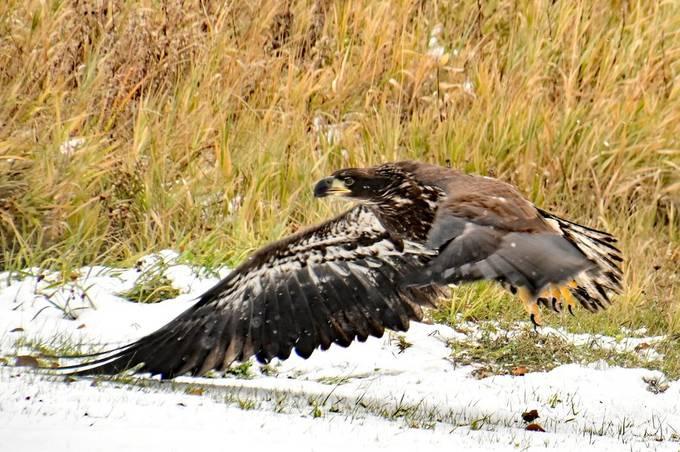Young Bald Eagle landing