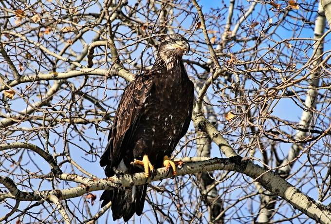 Premature Bald Eagle