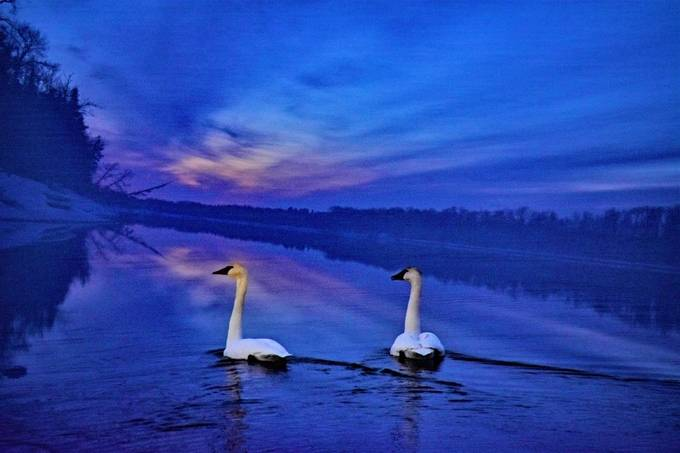 A pair of Trumpeter Swans resting for the evening on the Rainy River before heading to their nesting grounds farther north