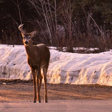 Spring shed season was well behind us but this Whitetail buck looked a little funny with one still hanging on
