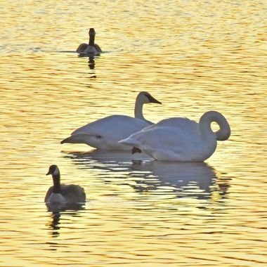 A pair of Trumpeter swans and a pair Canadian geese on the upper part of Rainy River above the dam