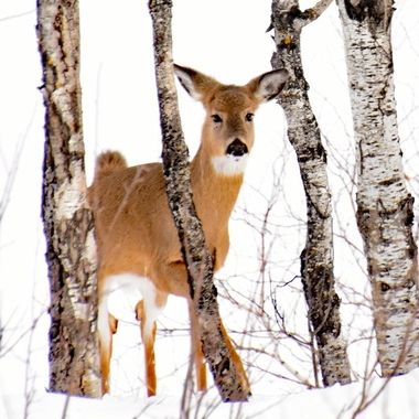 Whitetail doe checking me out while plowing snow along Rainy Lake