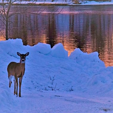 This whitetail doe was not afraid as walked down to get some sunset photos along the Rainy River