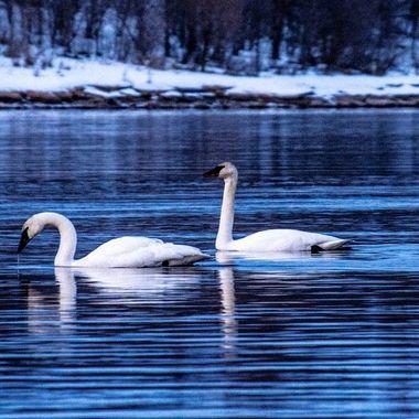 Spring migration on Rainy River