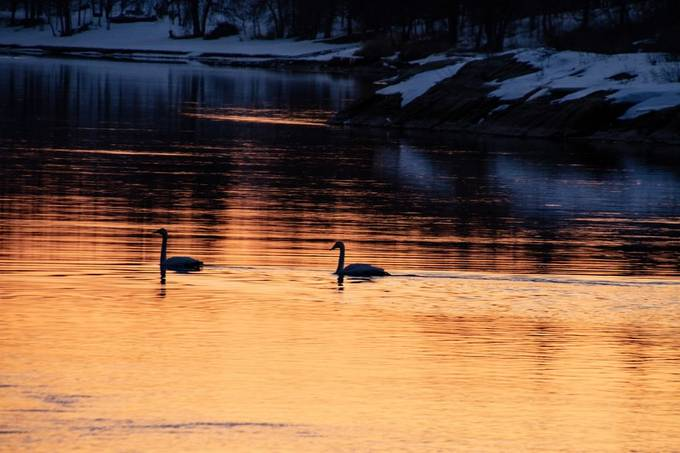 A pair of Trumpeter Swans resting overnight on Rainy River in the spring migration