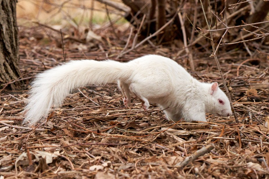 20201208 - I had the opportunity to observe two albino squirrel squirrels for about an hour.  The...