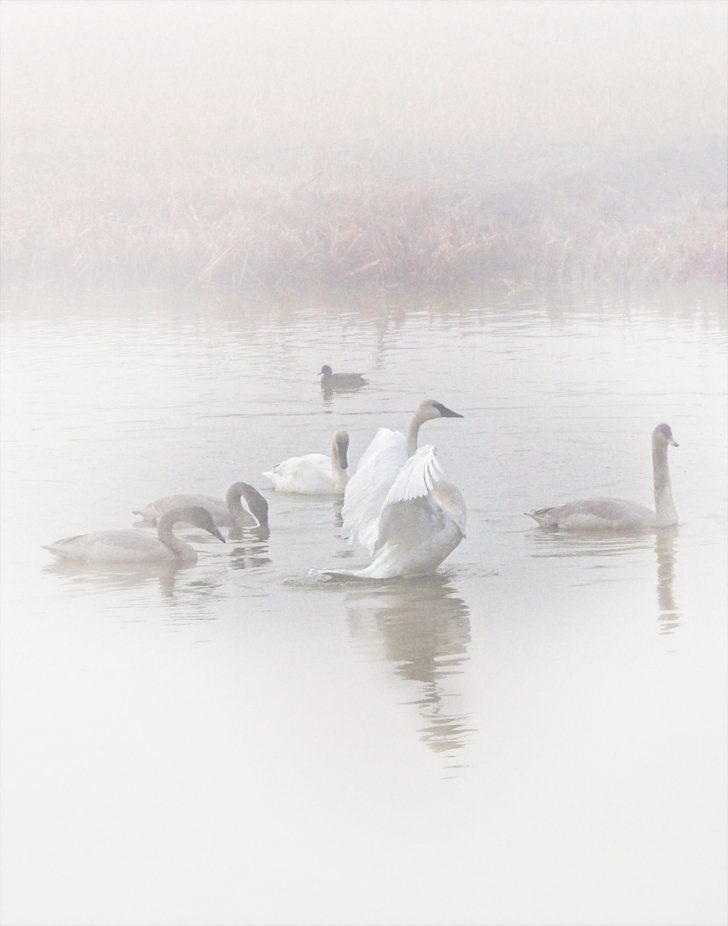 A small farmer's pond is full of swans on this very foggy morning in the Skagit Valley of Washington.