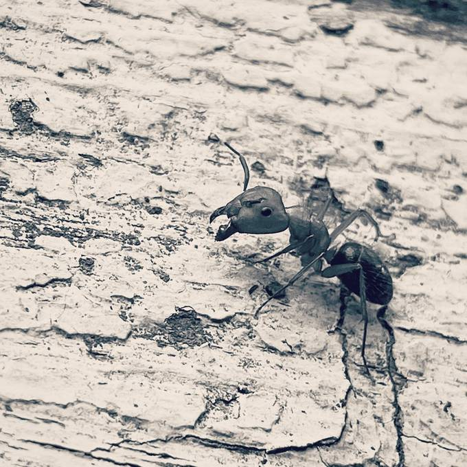 A close up shot of a fire ant