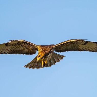Juvenile RT hunting-5099