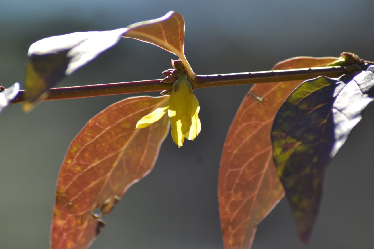 Taken 12/26/2020 from front yard and driveway. A series of practice photos with a yellow forsythia that had several blooms exposed to unpredictable freezing and warm weather which is typical of Central NC.