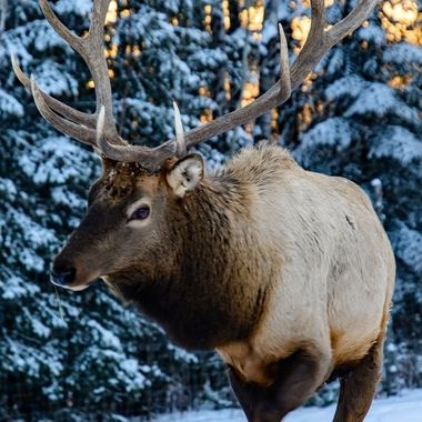 Bull Elk at Sunset