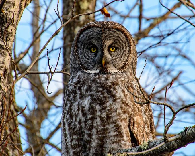 Great Grey Owl portrait right down to the bloody beak, the perfect pose