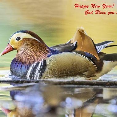 Mandarin Duck male DSC05235-Happy New Year
