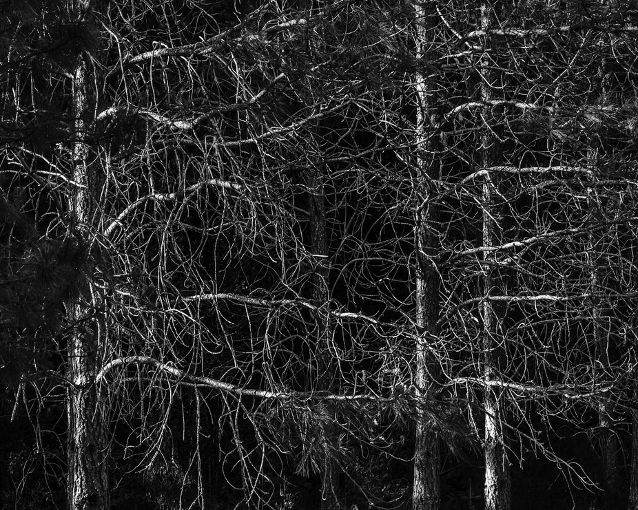 Shot lower pine branches in the Cascade Mountains just west of Sisters Oregon.