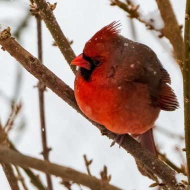 A few inches of snow fell in the DC area making for fun Cardinal images.  DSC_2542-DeNoiseAI-denoise-2
