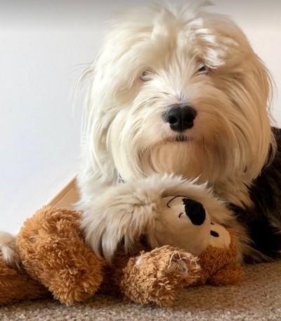 Poppettie, Bi-Laterally deaf Tibetan Terrier