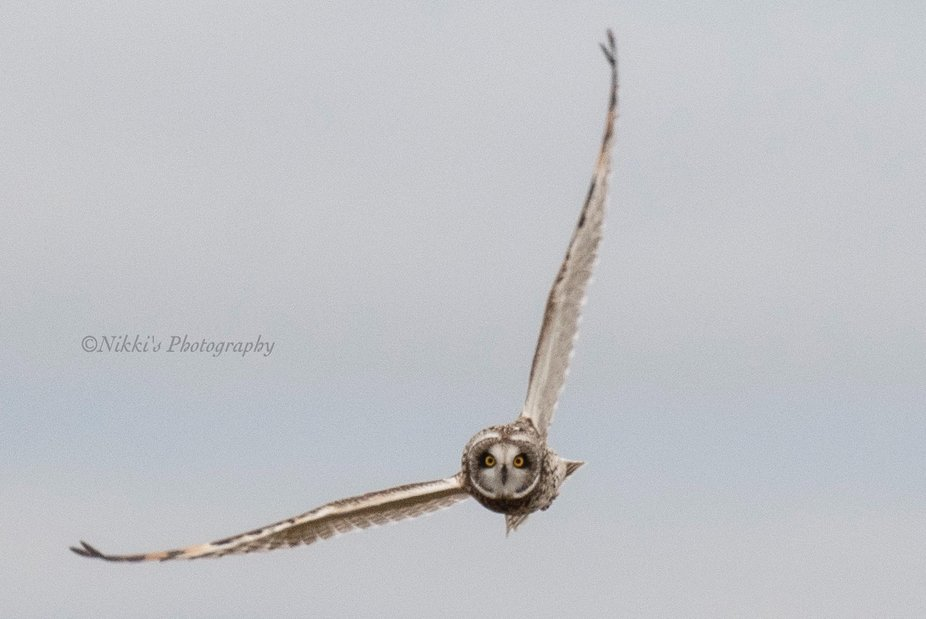 Love when the short eared owls come to visit for the winter. This was taken in upstate New York