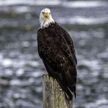 I was so thrilled to have the opportunity to photograph an eagle on this post! I have dreamed of this day for years!!!