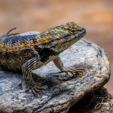 Determined Lizard