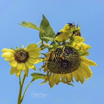 American Goldfinch and Sunflowers