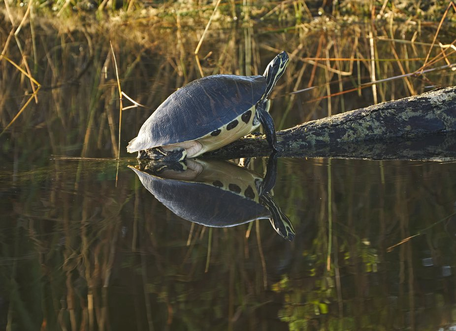 Jan 2.21 Turtle Reflection