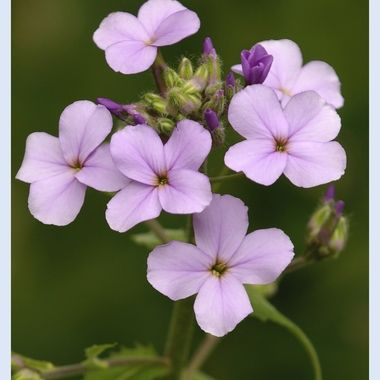 #3471 - Purple Flowers