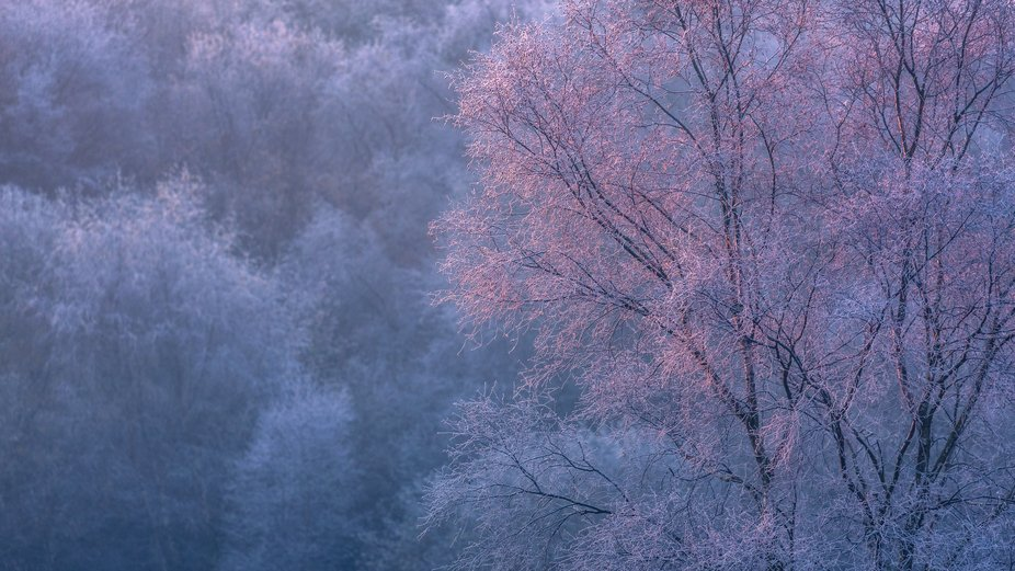When the first glowing rays of a winter sun catch the frozen branches of a birch.