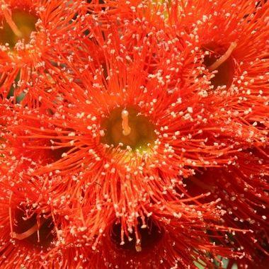 Beautiful eucalypt flower
