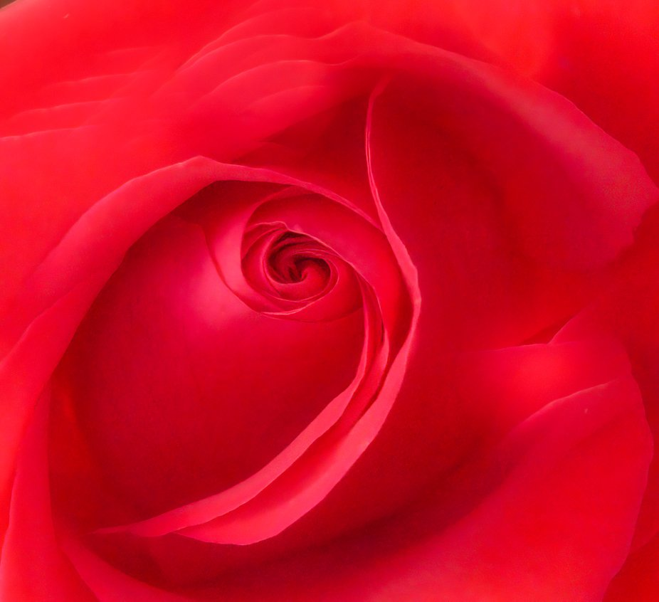 Red rose up close and personal