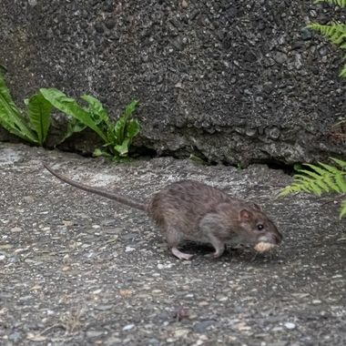 Norway rat, running some supplies