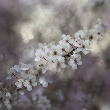 Flowering plum- I love any flowering plum plant. They were one  of moms favorites. When they bloom I can still hear her voice in my head ranting of their beauty.