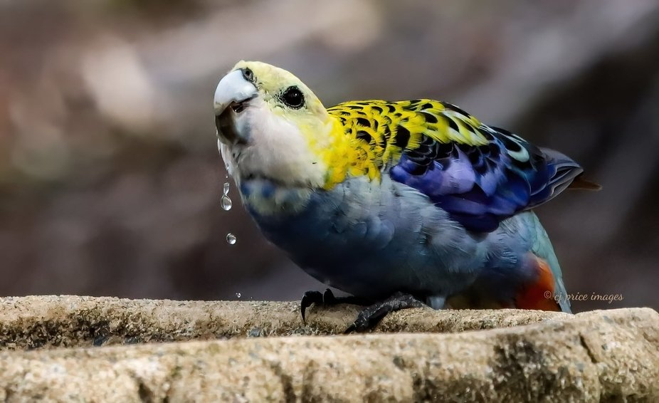 Pale -Headed Rosella! Pacific Haven,   Queensland