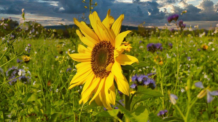 Sunflower on meadowfield